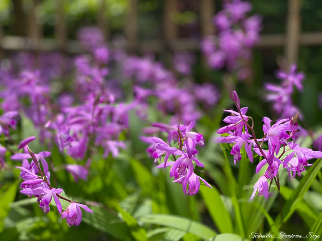 茶花 5月 紫蘭