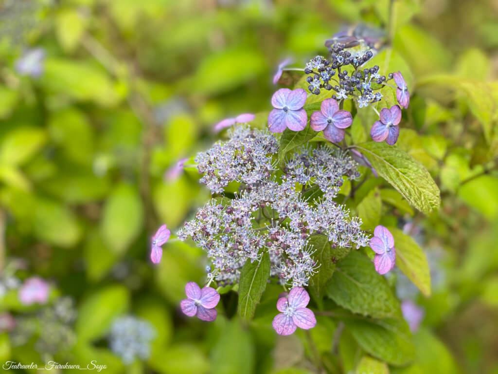 茶花 5月 山紫陽花